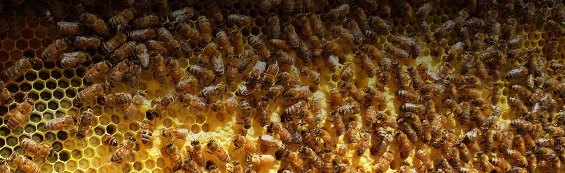 honey hemp for bees